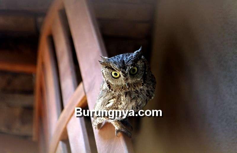 Mitos Burung Hantu Pembawa Sial Menurut Islam (pixabay.com)