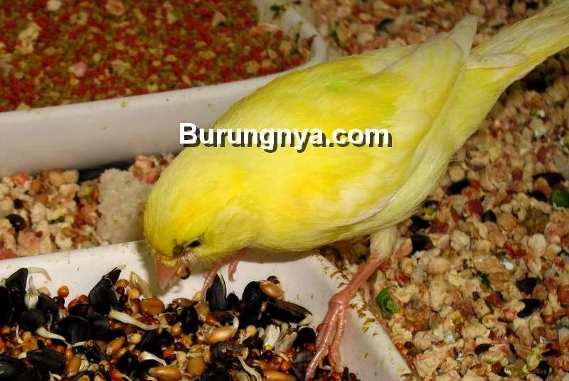 Pakan Burung Kenari Alami (petsturbo.com)