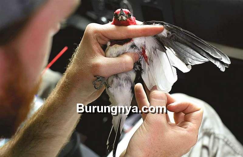 Tes DNA Burung Untuk Mengetahui Jenis Kelamin (toledoblade.com)