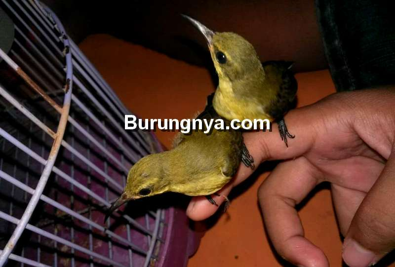 Tips Memaster Burung yang Benar (facebook.com)