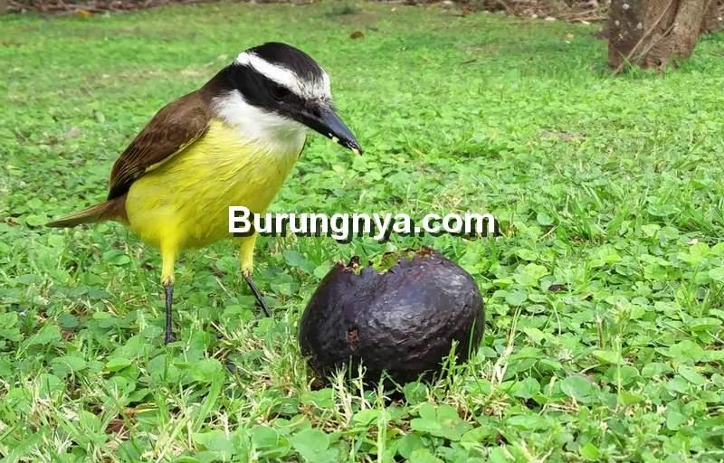 Bahaya Buah Alpukat untuk Makanan Burung Kicau (youtube.com)