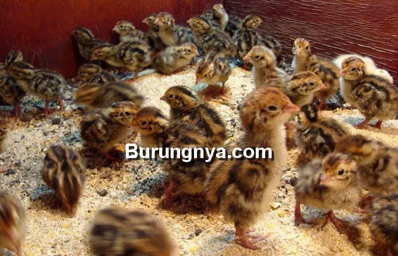 Cara Membuat Makanan Burung Puyuh Sendiri (quaility.com)
