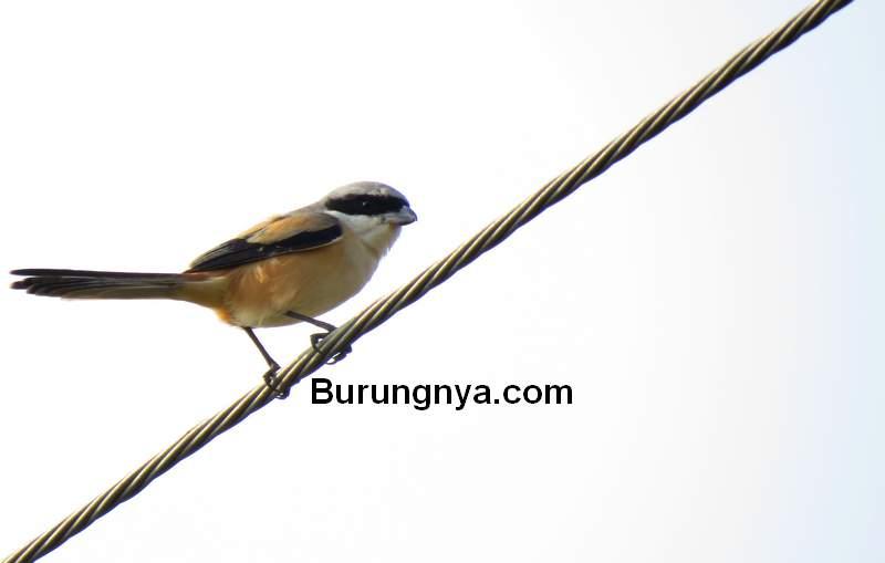 Cara Mengatasi Cendet Giras dengan Terapi (birdwatchingdaily.com)