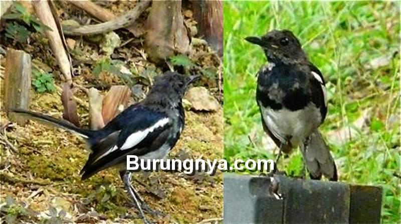 8 Cara Mengatasi Kacer Mabung Tidak Tuntas Dan Macet Bunyi Burungnya Com