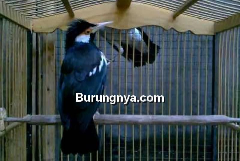 Cara Ternak Burung Jalak Suren di Sangkar Gantung (carabeternakku.blogspot.com)
