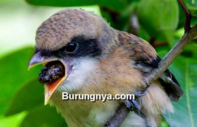 Jenis Makanan Burung Cendet (besgroup.org)
