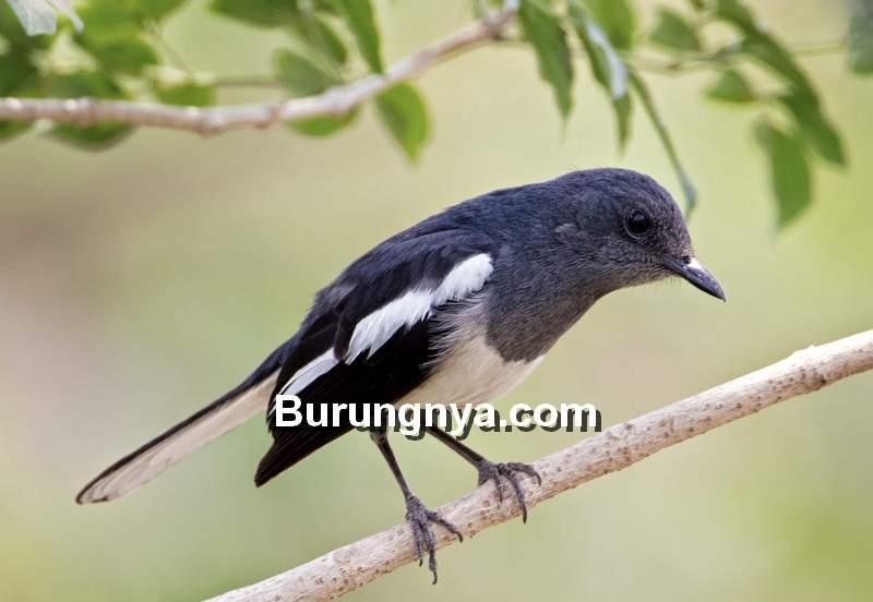 Kacer Mabung Tidak Tuntas dan Macet Bunyi (cambodiabirds.blogspot.com)