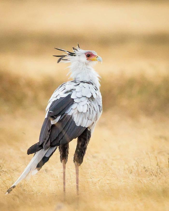 Kaki Panjang Secretary Bird (alexnardiniph)