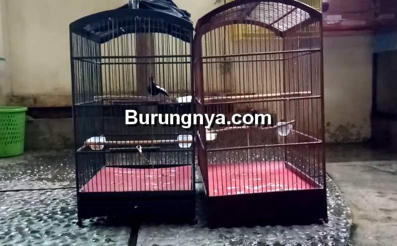 Kandang Burung Kacer (youtube.com)