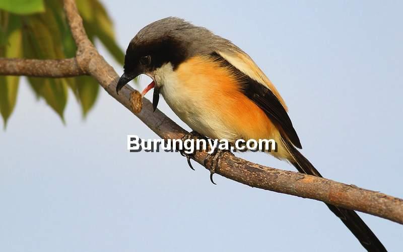Makanan Burung Cendet Harian (flickr.com)