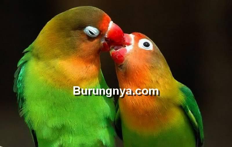Makanan Burung Lovebird Agar Cepat Kawin (weheartit.com)