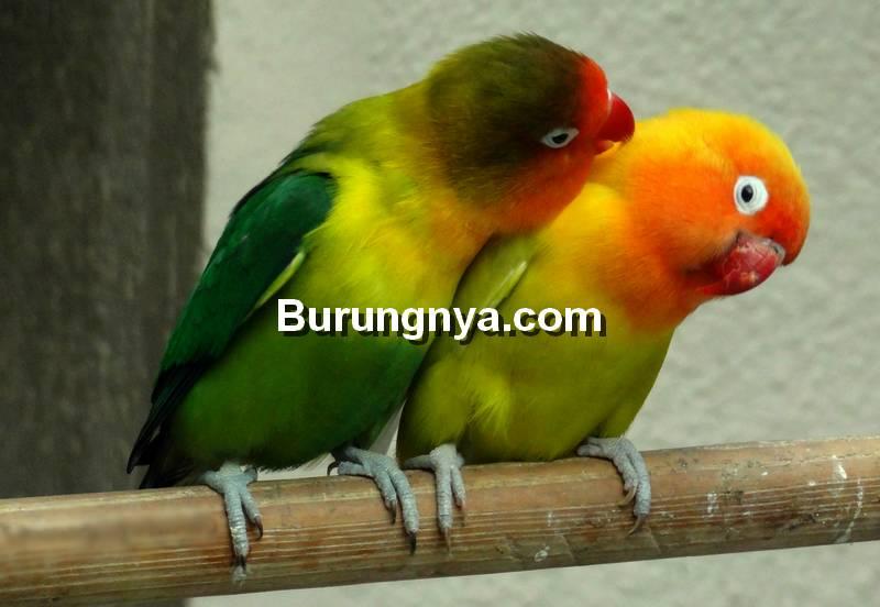 Makanan Burung Lovebird Cepat Birahi (sfwallpaper.com)