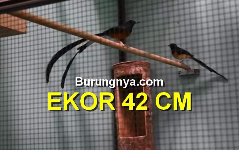 Murai Batu Ekor 42 Cm Terpanjang di Indonesia (youtube.com)