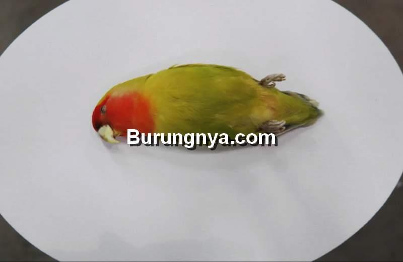 Obat dan Makanan Lovebird Nyilet (vice.com)