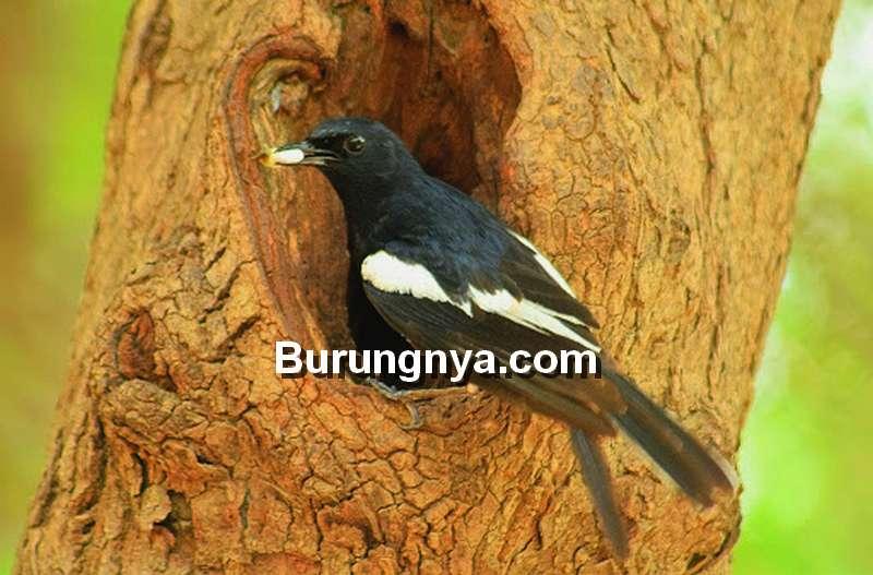 Pakan Kacer Alami (birdofgujarat.co.in)