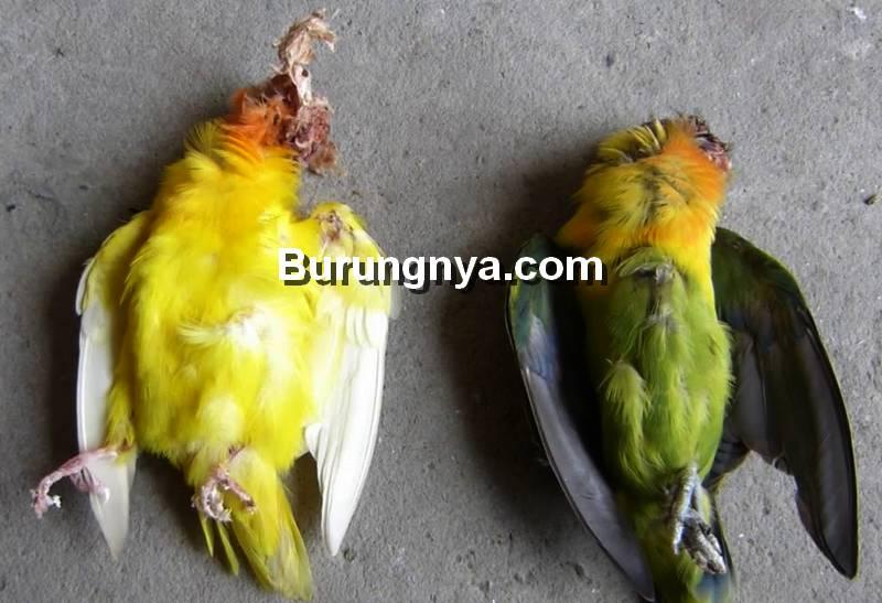 Penyakit Burung Lovebird dan Obatnya (youtube.com)