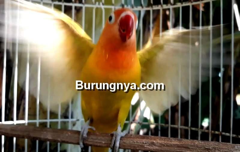 Penyebab Lovebird Ngekek Sambil Mengepakkan Sayap dan Cara Mengatasi (youtube.com)
