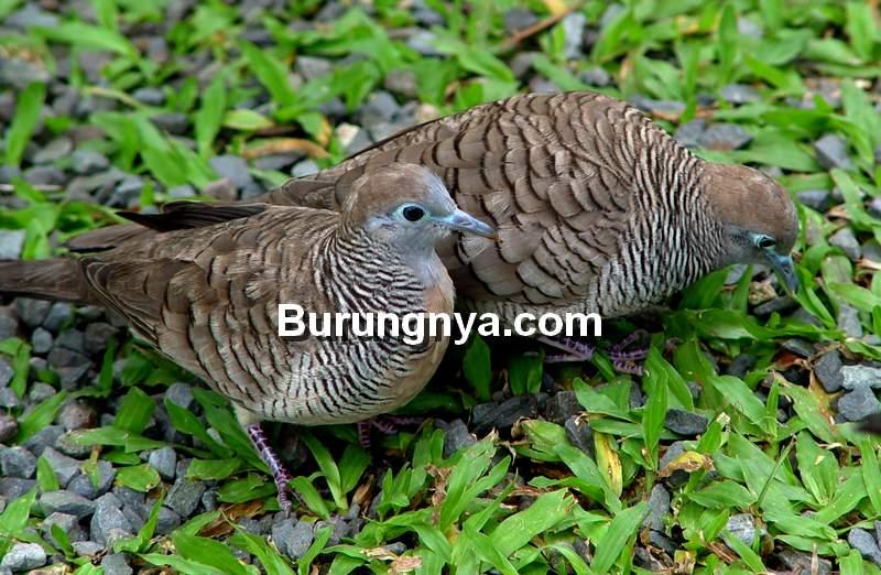 Perkutut Macet Bunyi Kembali Manggung (geotripperbirds.blogspot.com)