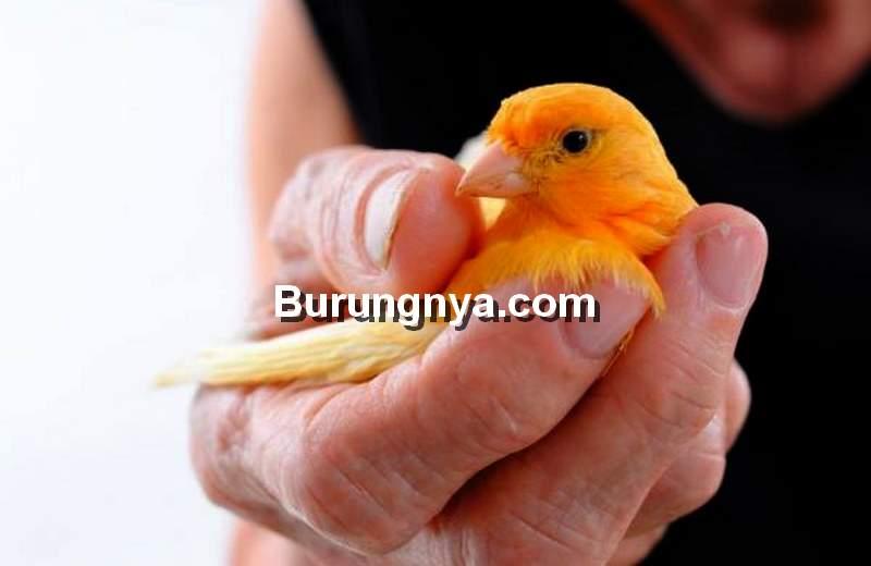 Racikan Pakan dan Minuman Burung Kenari Alami (animalwised.com)