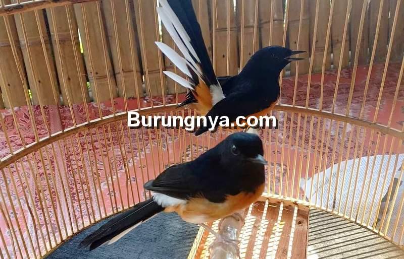 Sukses Ternak Burung Murai Batu dengan Tempe Mentah (kebumenhow.com)