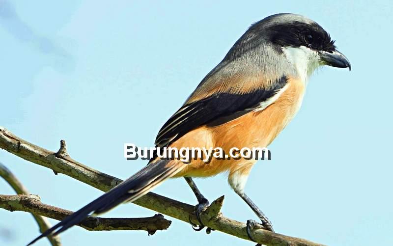 20 Cara Mengatasi Cendet Giras Dengan Terapi Burungnya Com