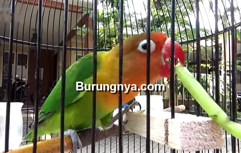 Tips Merawat Lovebird Jantan Single Fighter agar Stabil di Lomba (youtube.com)