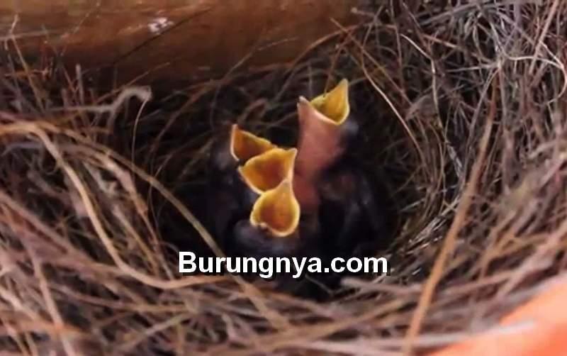 Anakan Burung Kacer (youtube.com)