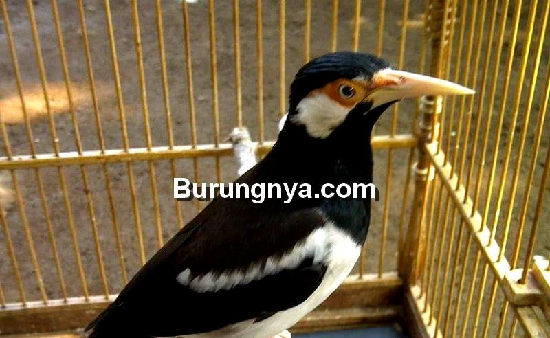 Burung Jalak Suren Gacor Jadi Jarang Bunyi (pinterest.com)