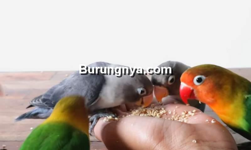 Burung Lovebird Jinak dengan Terapi Lapar (youtube.com)
