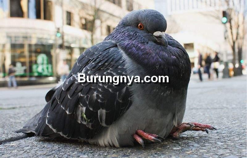 Burung Merpati Gemuk atau Gendut (pinterest.com)