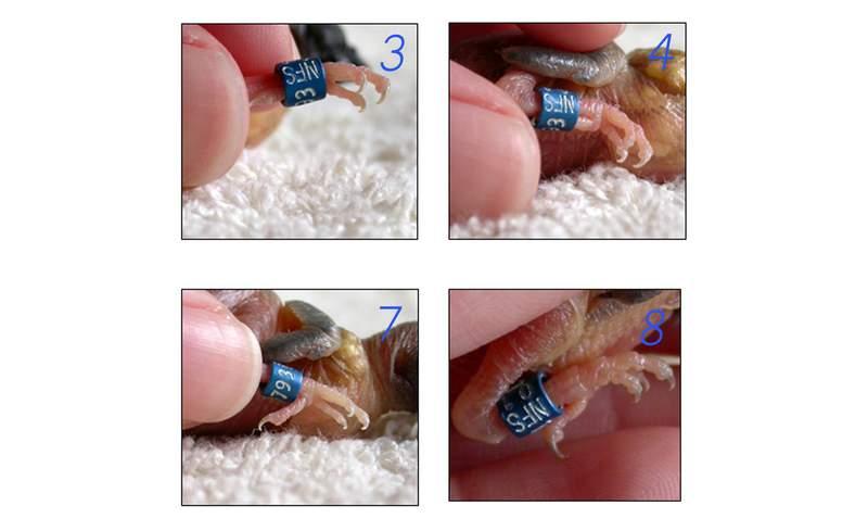 Cara Memasang Ring Burung (duniaburung.wordpress.com)