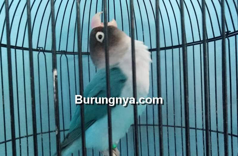 Cara Mengatasi Lovebird Birahi atau Emosi di Rumah dan Lapangan (instagram.com)