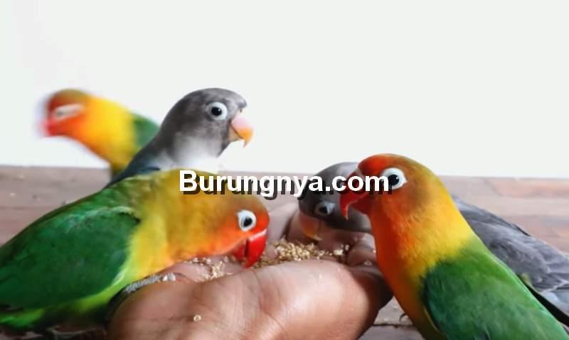 Cara Menjinakkan Lovebird Dewasa Liar dengan Terapi Lapar (youtube.com)