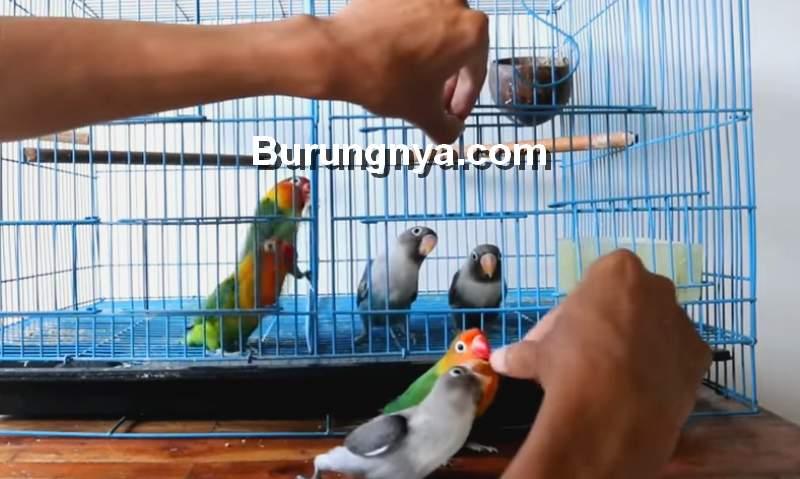 Cara Menjinakkan Lovebird Terapi Lapar (youtube.com)