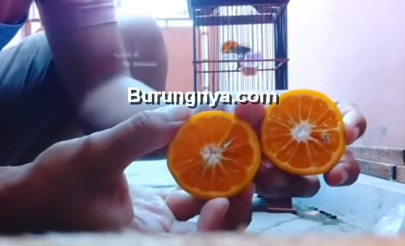 Doping Pleci Murah dan Sederhana (youtube.com)