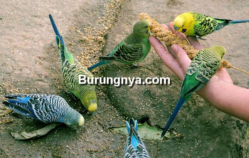 Jenis Pakan Burung Parkit (pixabay.com)