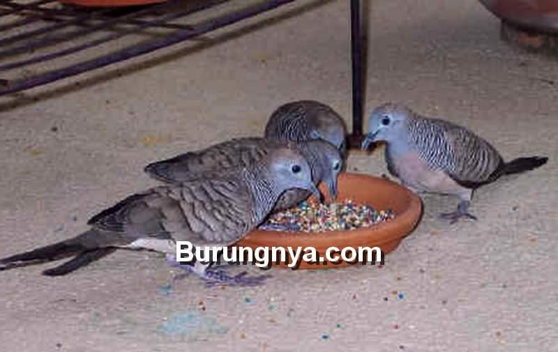 Jenis Pakan Burung Perkutut (diamonddove.info)