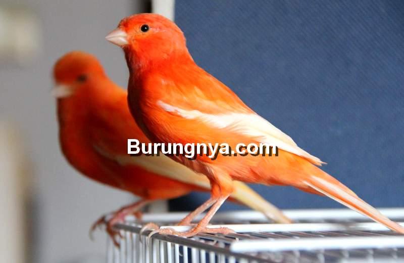 Kenari Merah Semiran atau Palsu (deviantart.com)