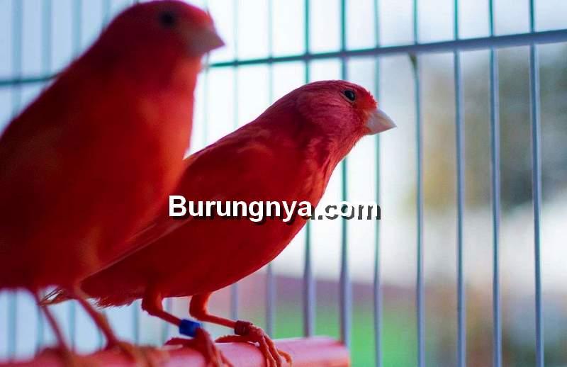 Kenari Merah Semiran ilustrasi (birdsnow.com)