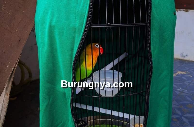 Lovebird Birahi dan Emosi (instagram.com)