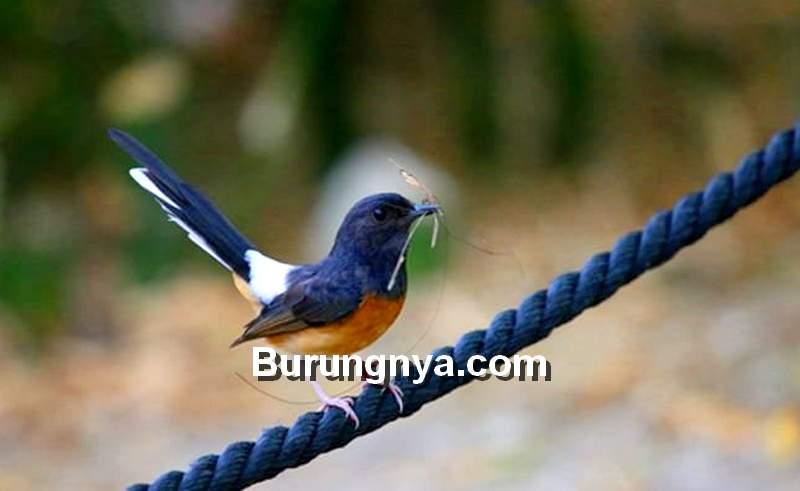 Makanan Burung Murai Batu (animals.net)