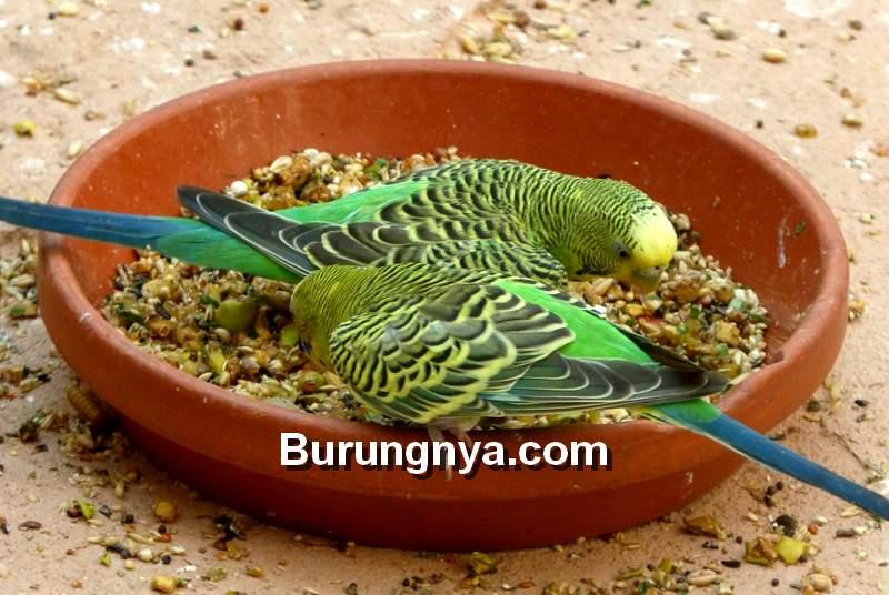 Makanan Burung Parkit Harian dan Pakan Tambahan (pxhere.com)