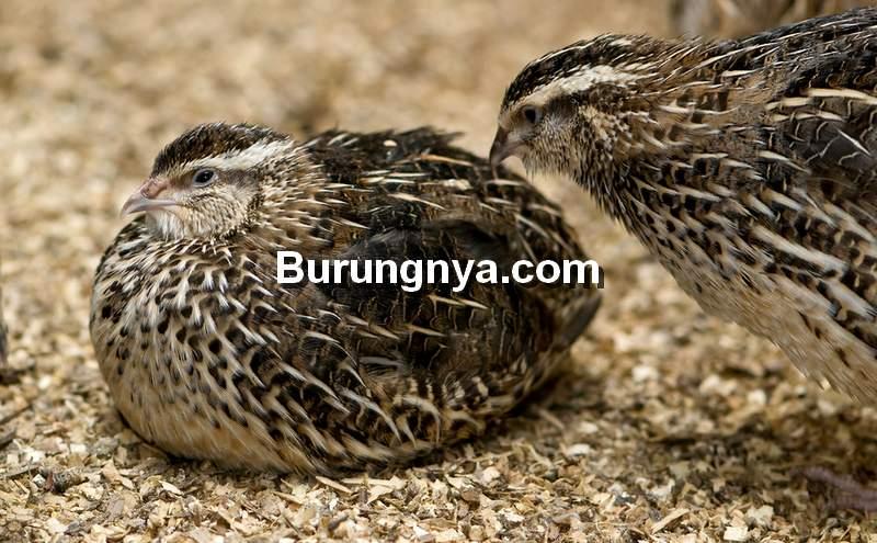 Merek Makanan Burung Puyuh (bulawayo24.com)