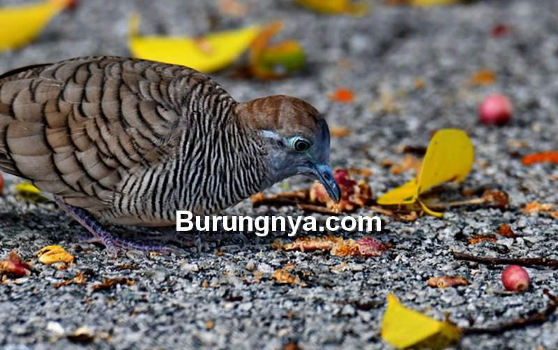 Pakan Burung Perkutut Alami dan Pabrikan (besgorup.org)