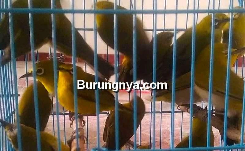 Perawatan Pleci Ombyokan yang Baru Dibeli (tampangkicau08.blogspot.com)