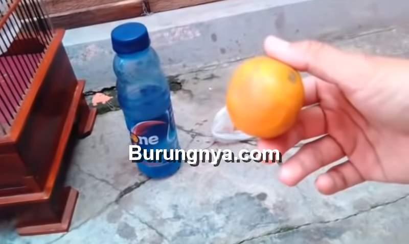 Racikan Doping Pleci agar Cepat Gacor dan Nembak (youtube.com)