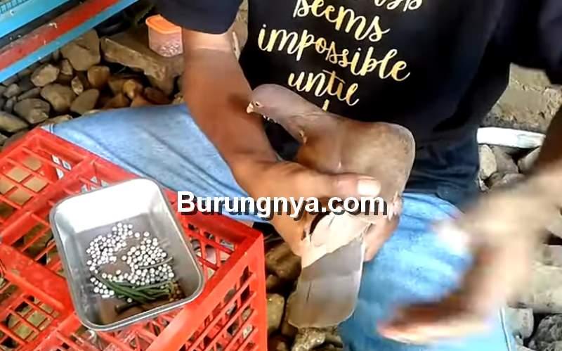 Racikan Pakan Merpati Agar Cepat Giring Keket Keras (youtube.com)