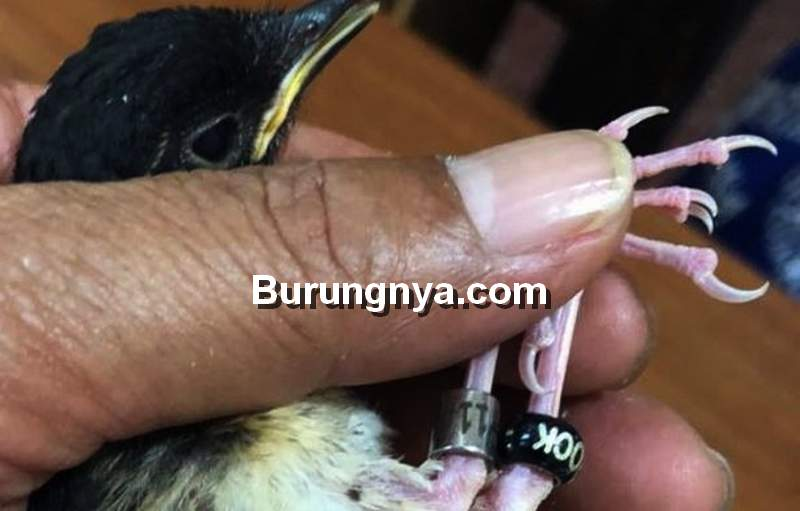 Ukuran Ring Burung dan Tips Memilih Model Ring (kompas.com)