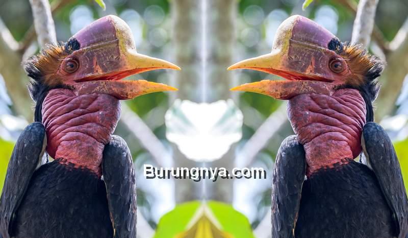 Burung Helmeted Hornbill (lifegonewild.org)