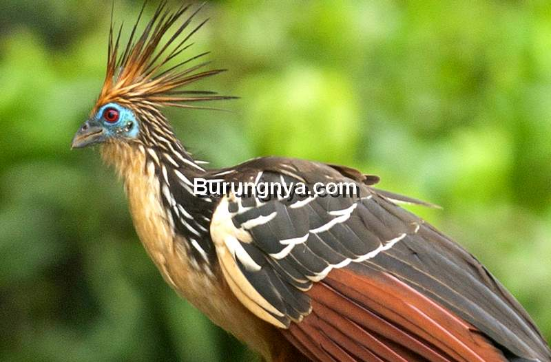 Burung Hoatzin (perunature.com)
